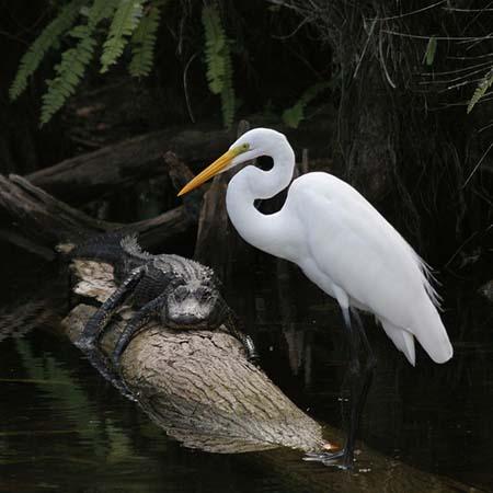 Animales en Everglades