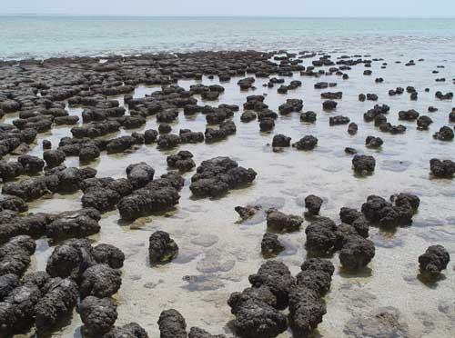 Estromatolitos en Bahia Shark