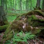 El Bosque de Bialowieza, entre Polonia y Bielorrusia
