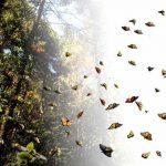 La Reserva de la Biosfera Mariposa Monarca, en México