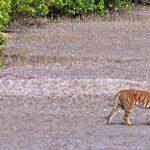 El Paque Nacional de Sundarbans, hogar del tigre de bengala