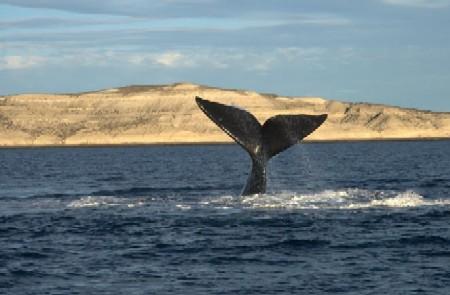 ballena-franca-austral-en-peninsula-valdes