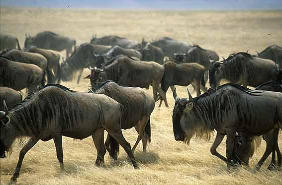 serengeti-migracion-de-nues